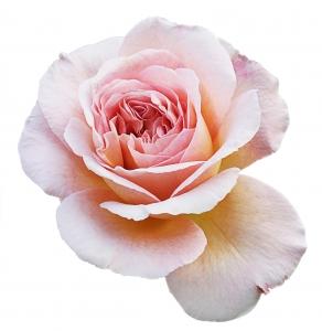 pastel-rose-1426486-m