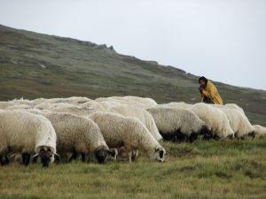 shepherd-1-853653-m
